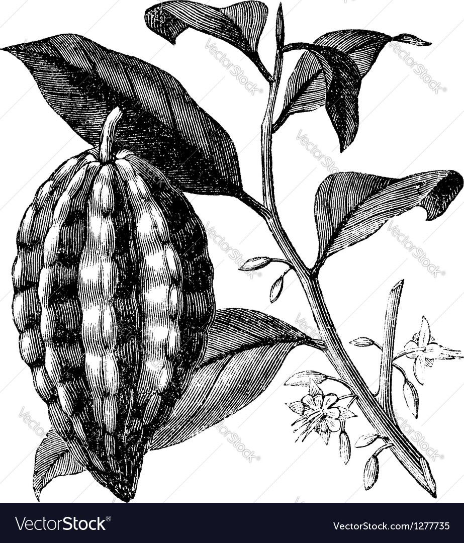 Cacao tree vintage engraving vector