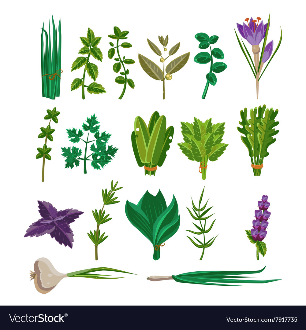 Cooking herbs collection vector