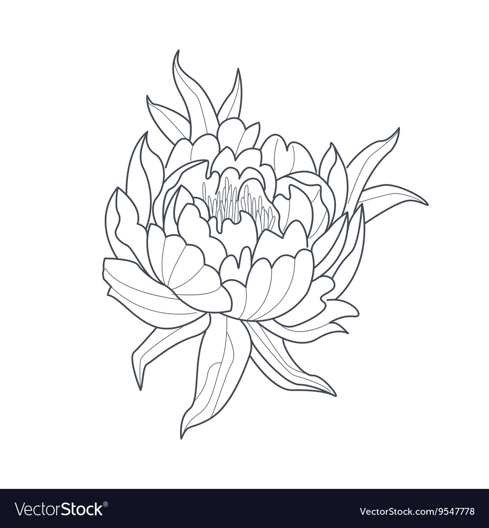 Peony flower monochrome drawing for coloring book vector