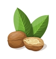 Walnuts with leafs isolated on white vector image
