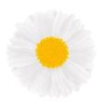 White Gerbera vector image