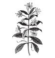 Agathosma vintage engraving vector image