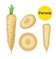 fresh parsnip vegetable organic vegetarian food vector image