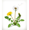 Dandelion summer flowers isolated on white vector image