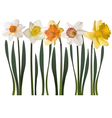 daffodil flowers vector image
