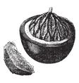 Brazil nut vintage engraving vector image vector image