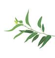 a brunch of eucalyptus vector image