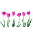 tulips color tulips isolated on white vector image vector image