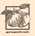 hand drawn grapefruits vector image