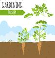 Garden Parsley Plant growth vector image