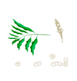 Parts of Cardamon Plant on White Background vector image vector image