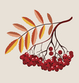 mountain ash berries vector image vector image