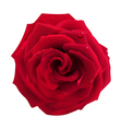 Red Rose with Water Drops vector image