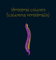 human organ icon in flat style vertebral column vector image