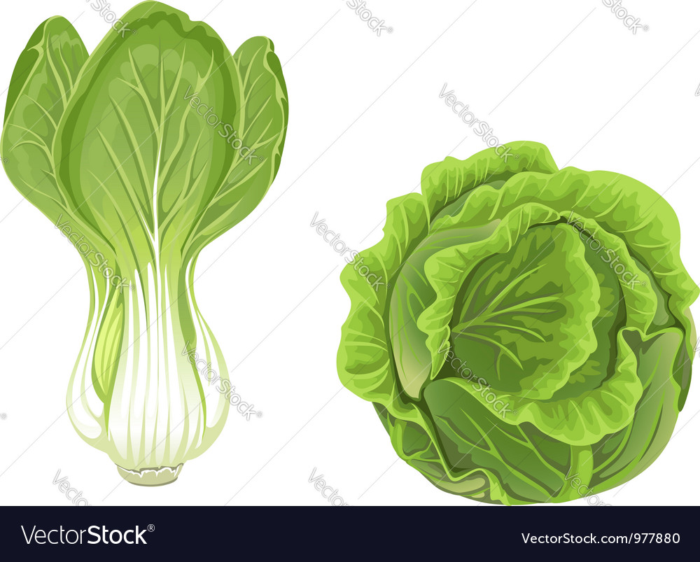 Head of green cabbage and lettuce vector