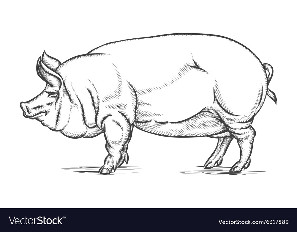 Engraving big pig or hog hand drawn vector