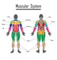 Human muscular system vector image