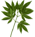 Marijuana Leaves Cannabis vector image