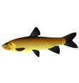 Chinese carp vector image