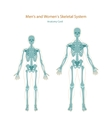 Anatomy guide Male and female skeleton Front vector image