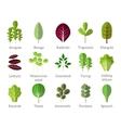 Salad ingredients Leafy vegetables flat vector image vector image