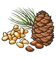 Pine nuts and cone isolated on white background vector image