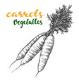 carrots vegetable set hand drawn vector image