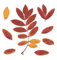 Real autumn rowan leaves set from red-yellow vector image