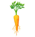 Fresh carrot with leaves and root vector image