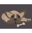French Bulldog isolated vector image