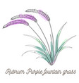 rubrum purple fountain grass on white background vector image