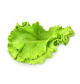 Fresh green leaf lettuce vector image vector image