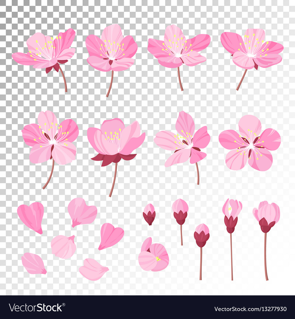 Set of beautiful cherry tree flowers isolated on vector
