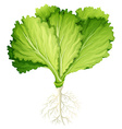 Fresh lettuce with root vector image