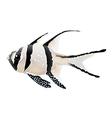 Banggai cardinalfish vector image