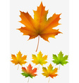 Collection of autumn maple leaves vector image
