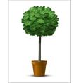maple tree globosum vector image