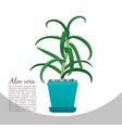 aloe vera plant in pot banner vector image