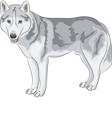 Czechoslovakian Wolfdog vector image
