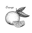 ink sketch of orange vector image