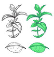 coloring hand drawn mint plant and leaf with vector image