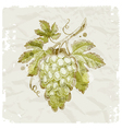 hand drawn bunch of grapes vector image