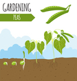Garden Peas Plant growth vector image