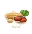 peanut with leaves in realistic style vector image