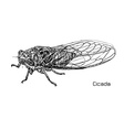 Drawing of cicada vector image