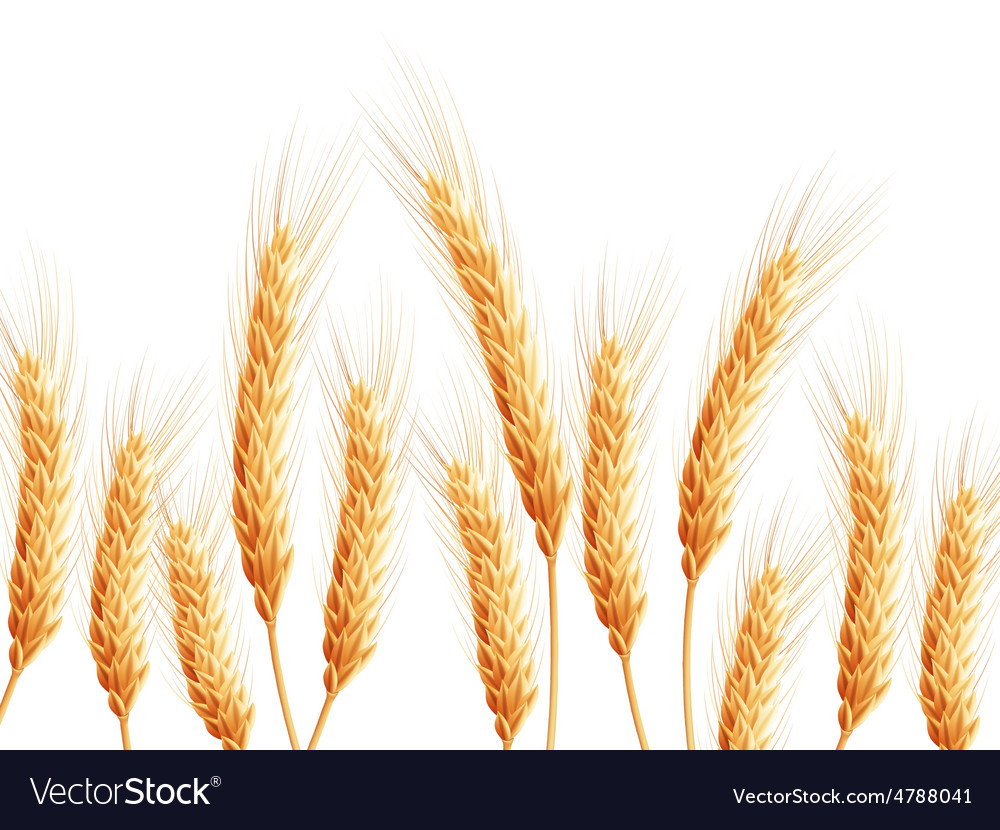Field of wheat on white eps 10 vector