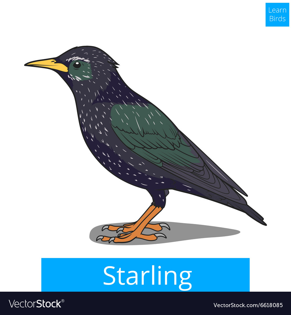 Starling learn birds educational game vector