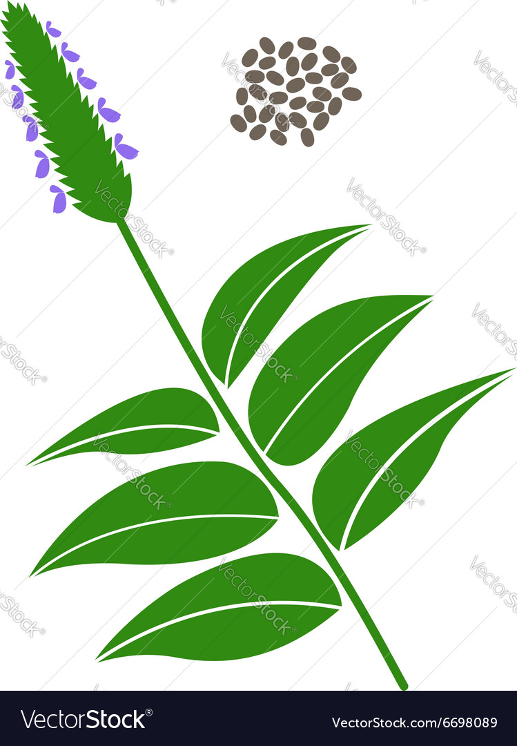 Chia branch and chia seeds vector