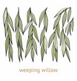 weeping willow hand drawing set of vector image