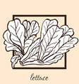 hand drawn lettuce vector image